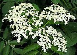 Elderberry-flowers.jpg