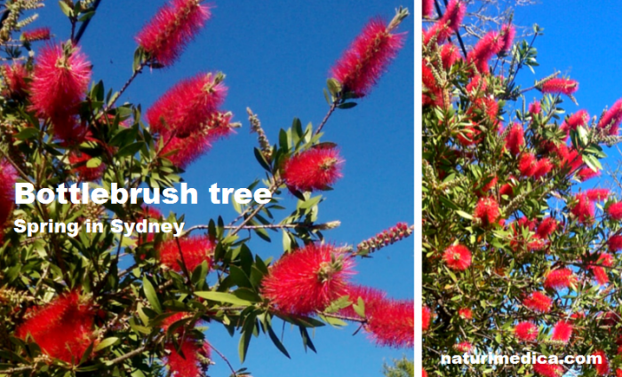 Red bottlebrush trees in spring