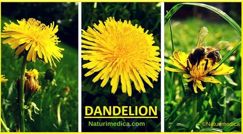 Dandelion The Key Herb For Liver Health Better Digestion And